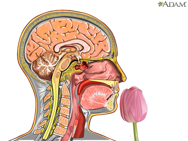 Smell Impaired Adam Interactive Anatomy Encyclopedia