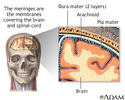 Meninges of the brain - A.D.A.M. Interactive Anatomy - Encyclopedia