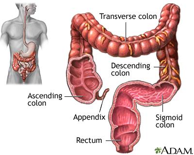 Large Intestine Colon Adam Interactive Anatomy Encyclopedia