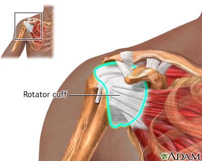 Normal Rotator Cuff Anatomy Adam Interactive Anatomy