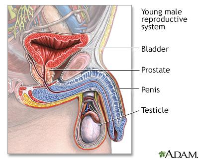 Young Male Reproductive System Adam Interactive Anatomy