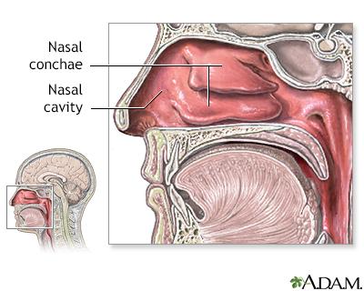 Nasal Anatomy Adam Interactive Anatomy Encyclopedia
