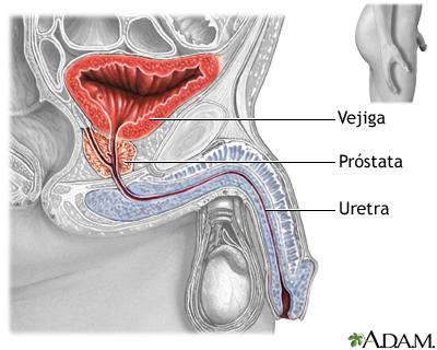 anatomia del pene del hombre