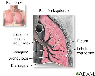 Anatomía de los pulmones - A.D.A.M. Interactive Anatomy - Encyclopedia
