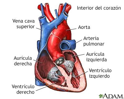 Corte transversal de la anatomía cardíaca normal - A.D.A.M. ...