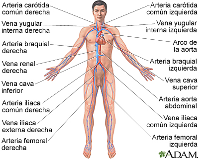 Sistema Circulatorio Adam Interactive Anatomy Encyclopedia