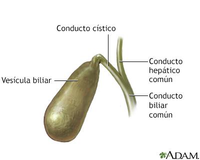 Anatomía de la vesícula biliar - A.D.A.M. Interactive Anatomy ...