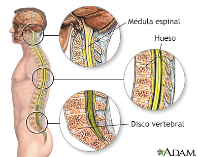 Anatomía de la columna vertebral - A.D.A.M. Interactive Anatomy ...